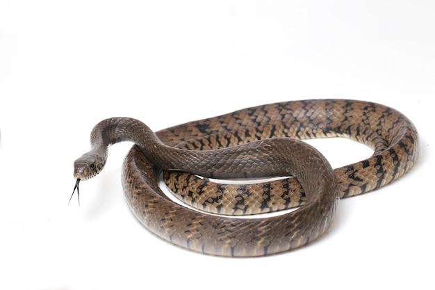 Serpent de rat indien oriental muqueuse ptyas isolé sur blanc.