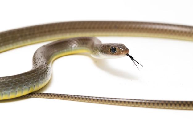 Serpent de rat indo-chinois isolé