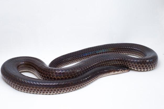 Serpent de rayon de soleil isolé