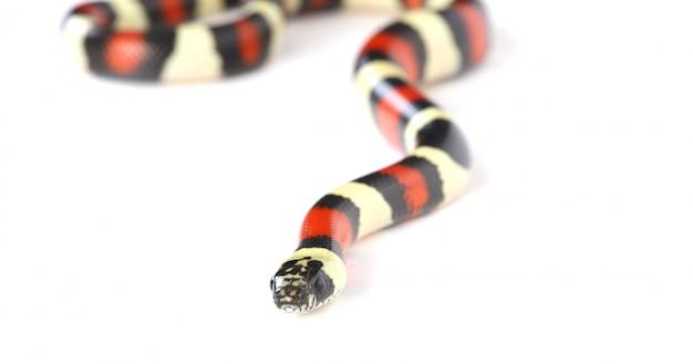Serpent roi sur blanc