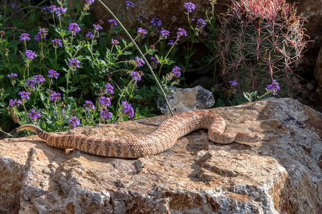 Serpent à sonnette moucheté du sud-ouest sifflant, variante rose