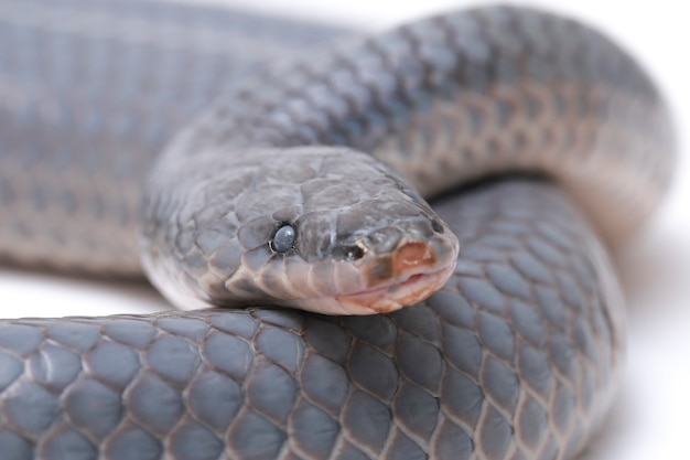 Serpent unicolore xenopeltis isolé