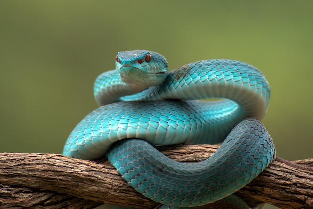 Serpent venimeux sur une branche d'arbre