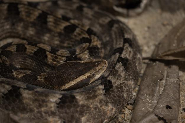 Serpent venimeux, serpent des vipères, serpent à sonnette.