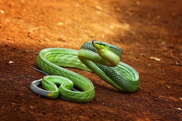 Serpent vert prêt à attaquer
