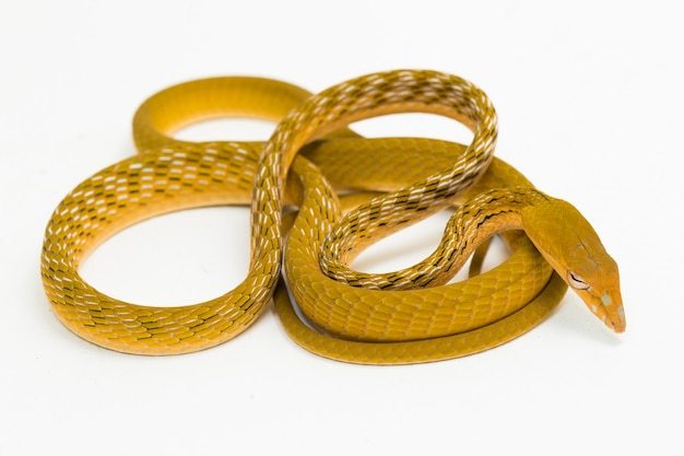 Serpent de vigne asiatique jaune hypo ahaetulla prasina isolé sur fond blanc