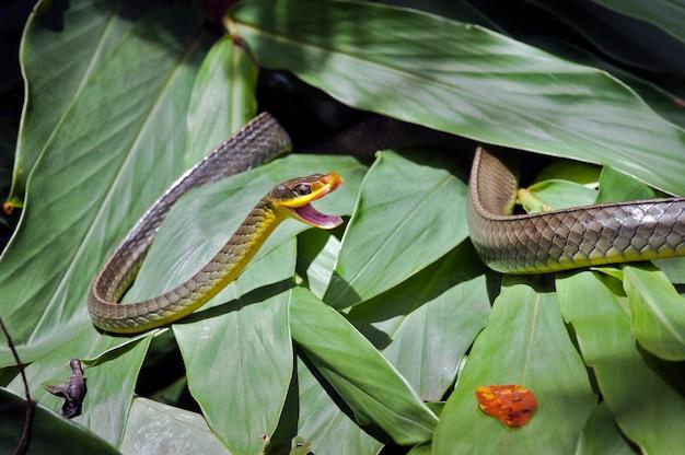 Serpent de vigne, ou cobra cipo, sur feuillage vert