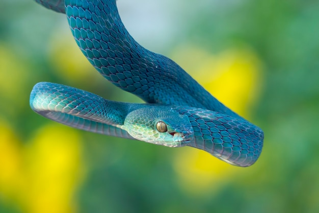 Serpent viper bleu sur branche, serpent viper prêt à attaquer, insularis bleu