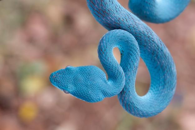 Serpent vipère bleu sur branche serpent vipère bleu insularis
