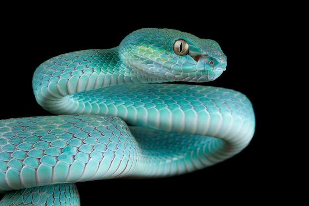Serpent vipère bleu sur branche