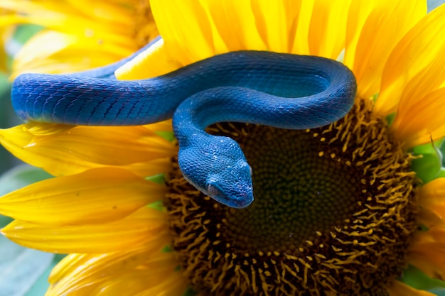 Serpent vipère bleu sur tournesol