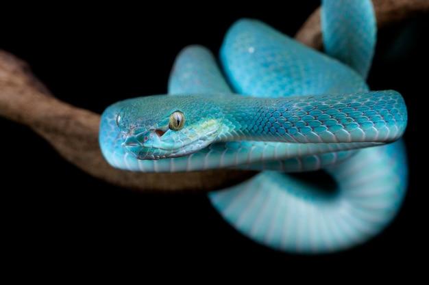 Serpent vipère sur branche prêt à attaquer