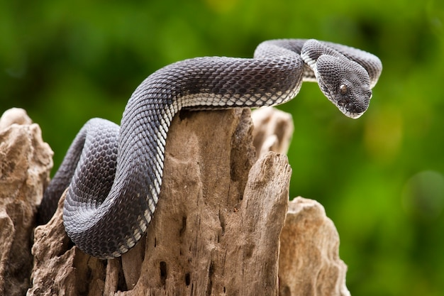 Serpent de vipère noir sur un arbre