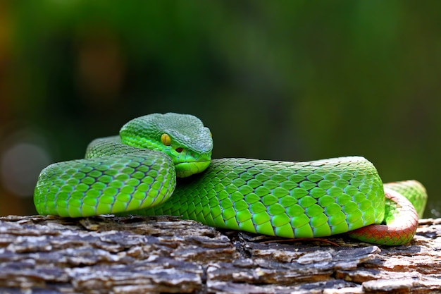 Serpents vipère verte