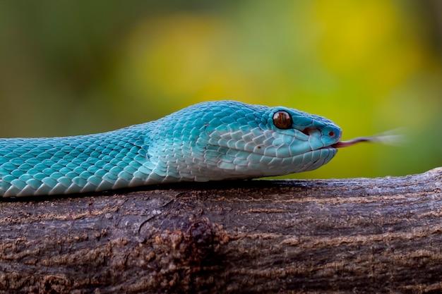 Serpents vipères insularis bleus