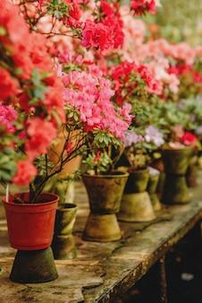 Serre avec azalées en fleurs