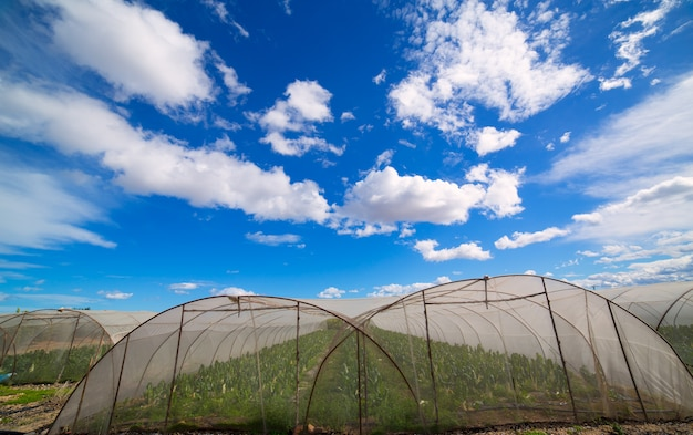 Serre avec des légumes de blettes sous un ciel bleu dramatique