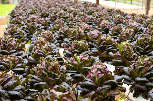 Serre moderne pour faire pousser des salades avec système d'irrigation. échelle industrielle des plantes en croissance.
