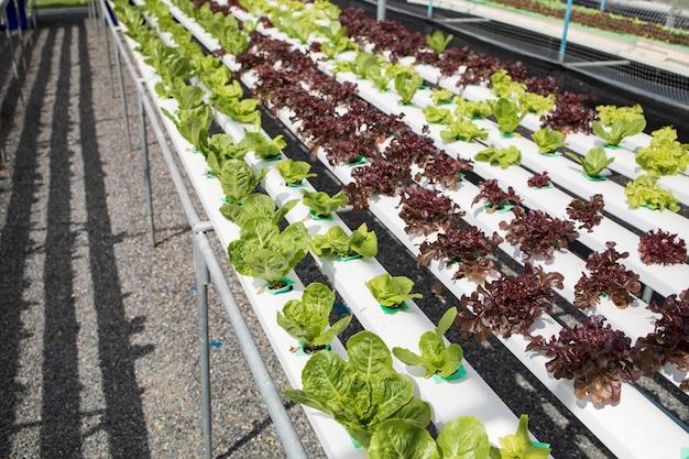 Les serres de légumes hydroproniques cultivent des aliments frais l'agriculture materail cru
