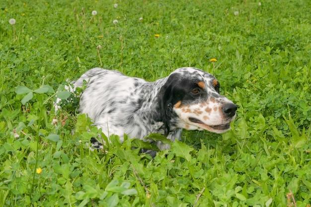 Setter anglais typique sur une pelouse verte