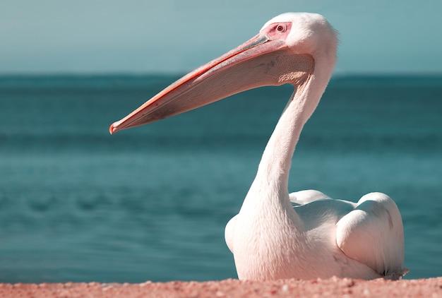 Seul grand pélican blanc se trouve sur le rivage de l'océan atlantique