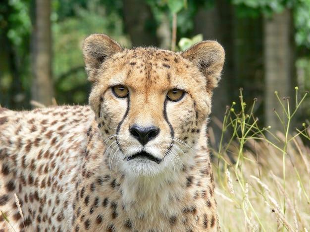 Un seul guépard à l'extérieur dans un environnement de zoo