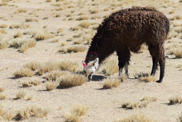 Un seul lama sur les hauts plateaux andins en bolivie
