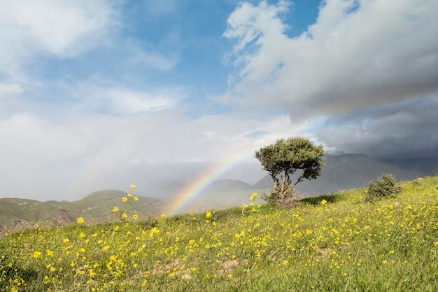 Seul olivier et arc-en-ciel au printemps champ d'herbe à fleurs jaunes