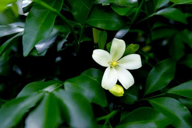 Un seul orang jessamine en fleurs parmi les branches. andaman satinwood sont en pleine floraison.