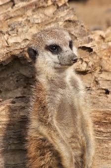 Seul suricate
