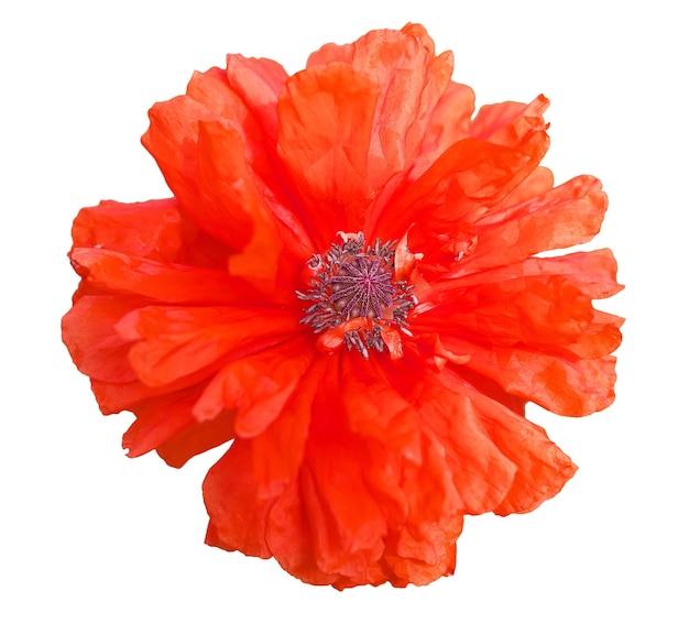 Seule belle fleur de pavot rouge isolée sur fond blanc. fermer.