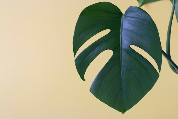 Une seule feuille de monstera plante sur fond jaune. gros plan avec un espace pour le texte