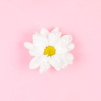 Seule fleur blanche magnifique sur fond rose