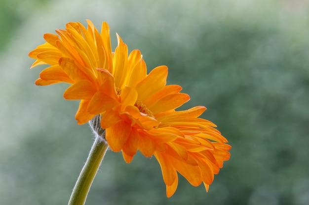 Seule fleur de gerbera d'or en pleine floraison