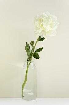 Une seule fleur de pivoine blanche dans un vase transparent sur mur pastel, lumière et printemps, tendre cadeau de valentin