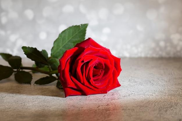 Seule grande belle rose rouge avec des gouttes de pluie sur fond gris