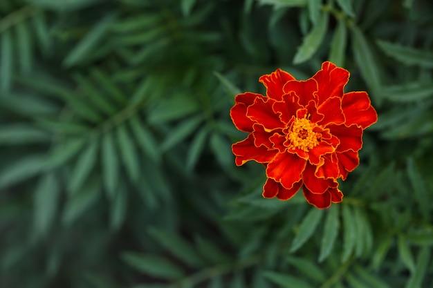 Seule grande fleur de souci dans le jardin, vue de dessus