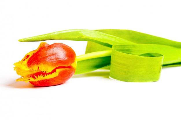 Une seule tulipe rouge posée sur un fond blanc.