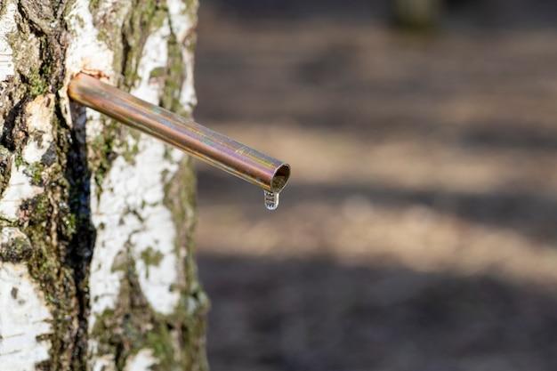 La sève de bouleau tombe au printemps. jus de bouleau ou eau dans une forêt