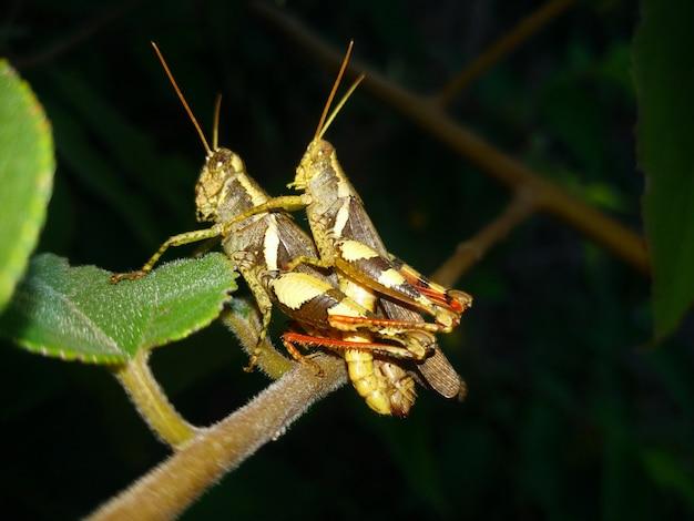 Sexe de sauterelle