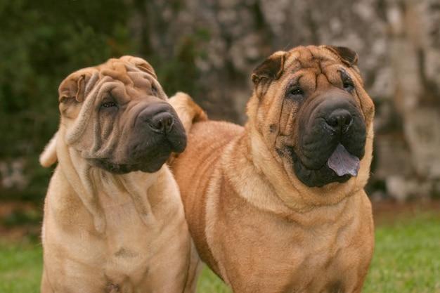 Shar pei chiens