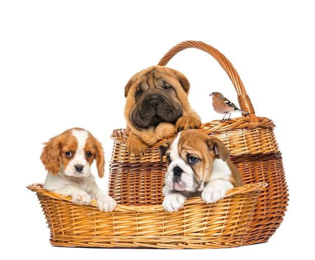 Sharpei, cavalier king charles et chiots bulldog anglais