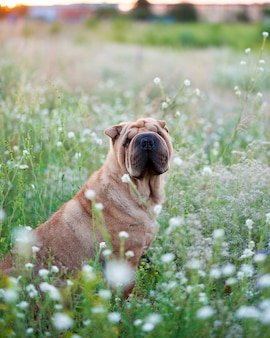 Sharpei chien sur un champ fleuri