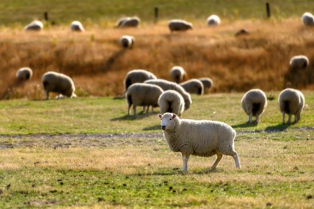 Sheep mountain view en nouvelle-zélande.