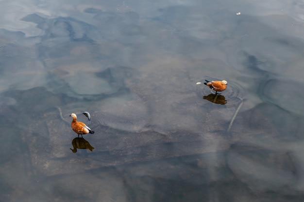 Shelducks sur la surface sombre de l'eau