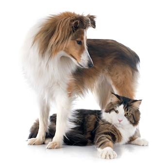 Shetland chien et maine coon chat