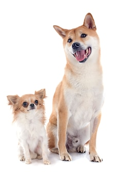 Shiba inu et chihuahua