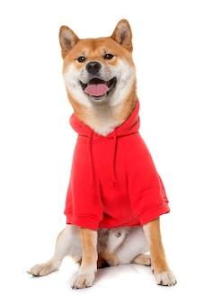 Shiba inu habillé