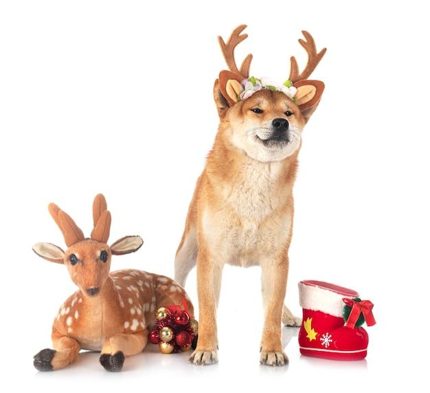 Shiba inu avec des jouets