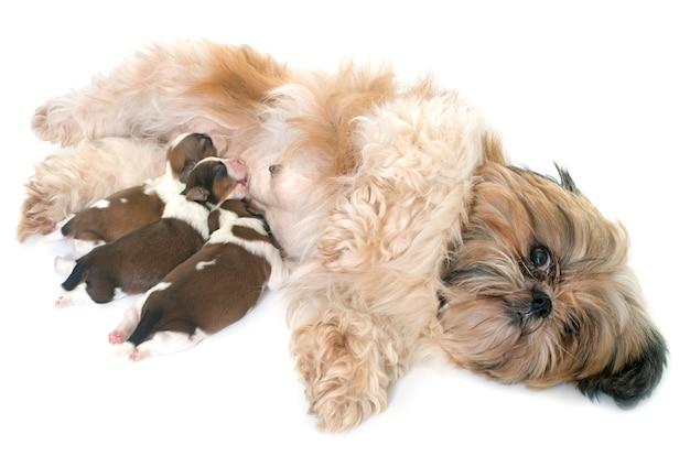 Shih tzu chien et chiots